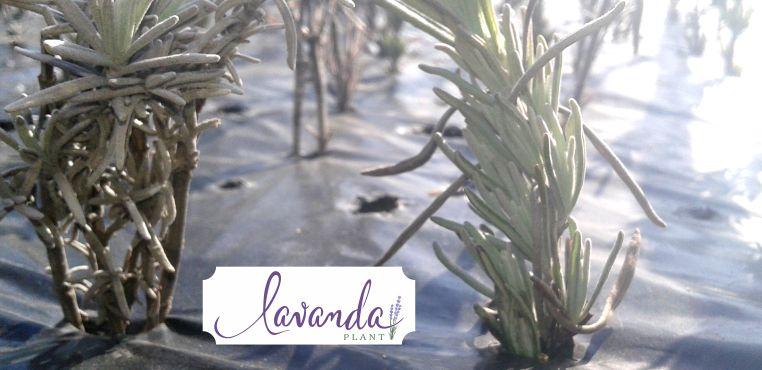Butasi de lavanda - inmultire by LAVANDA Plant