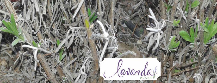 lavanda intrare in vegetatie - by Lavanda plant