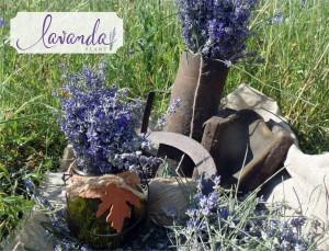 lavanda plant
