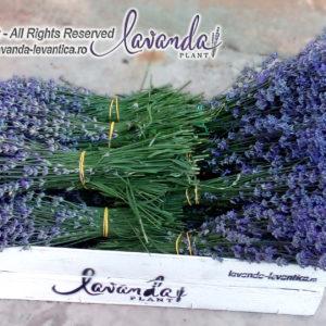 Buchete Lavanda proaspata - by Lavanda Plant Craiova