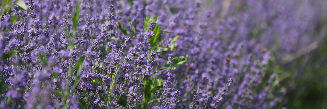 Cultura Lavanda by LAVANDA PLANT Craiova - lavender