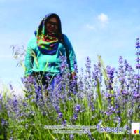 lavanda-plant-craiova-lavender-plant-craiova-romania-with-lavender-indonesia-02