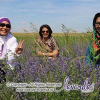 lavanda-plant-craiova-lavender-plant-craiova-romania-with-lavender-indonesia